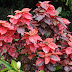 Acalypha Wilkesiana Euphorbiaceae  COPPER LEAF Plants Care And Guide