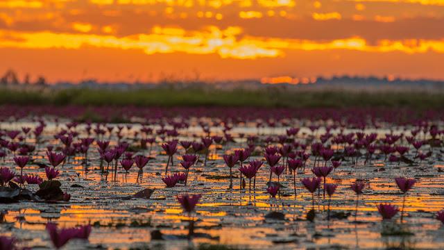 شاهد سحر بحيرة اللوتس الأحمر في تايلند IMG_7733-57b3102fd8ace__880