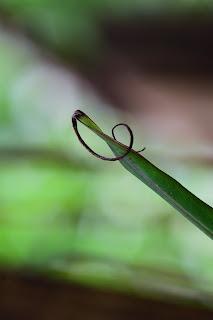 Banana Leaf Tips