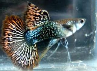ikan guppy dragon