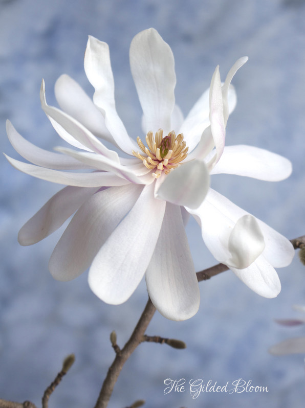 Blooms and Branches:  Star Magnolia - www.gildedbloom.com