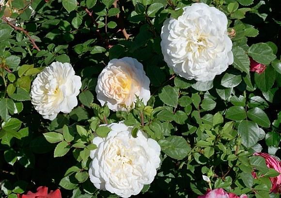 Crocus Rose сорт розы Остин фото купить саженцы в питомнике Минск беларусь