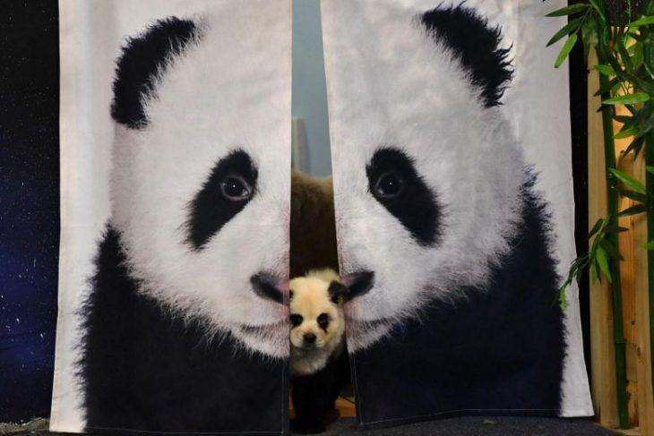 Café en China tiñe el pelo de perritos para que parezcan pandas y desata críticas