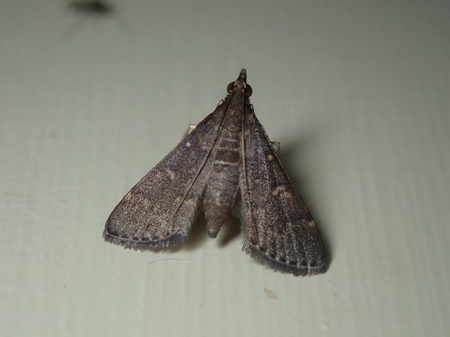 Symmoracma minoralis