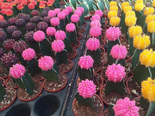 cactus pink flower
