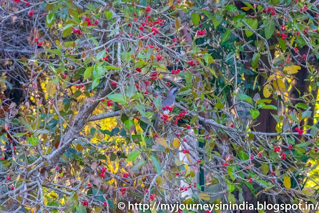 Ranganathittu Birds Indian Grey Hornbill