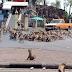 ΛΟΓΩ ΤΟΥ ΚΟΡΟΝΟΪΟΥ! Εκατοντάδες πεινασμένες μαϊμούδες τρέχουν για μια μπανάνα