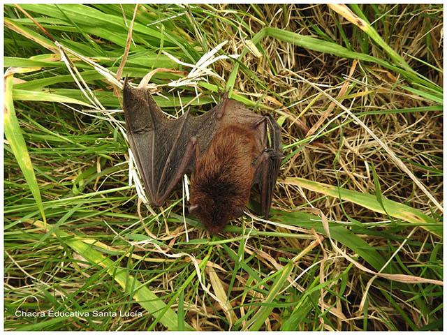 Murciélago en el pasto -Chacra Educativa Santa Lucía