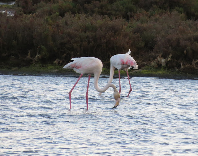 Greater Flamingos - Portugal