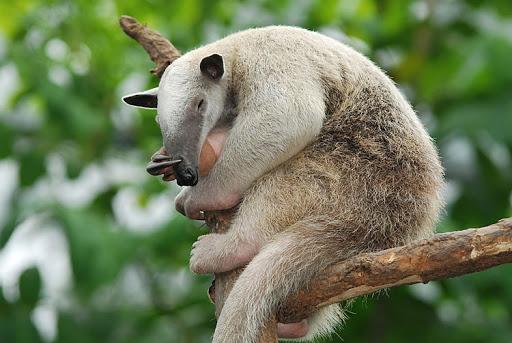 Tamanduá-Mirim (Tamandua tetradactyla)