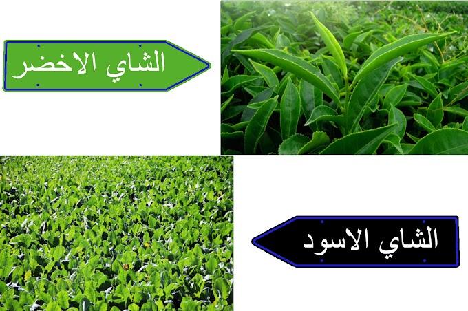 ايهما تفضل الشاي الاخضر ام الشاي الاسود ؟ ايهما اكثر فائده حسب اعتقادك؟