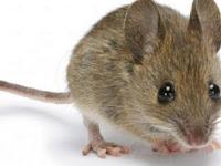 Kesal dengan Tikus yang Membandel, Jasa Pembasmi Tikus Solusinya