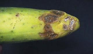 Infeksi Rhizoctonia pada Tanaman Hias