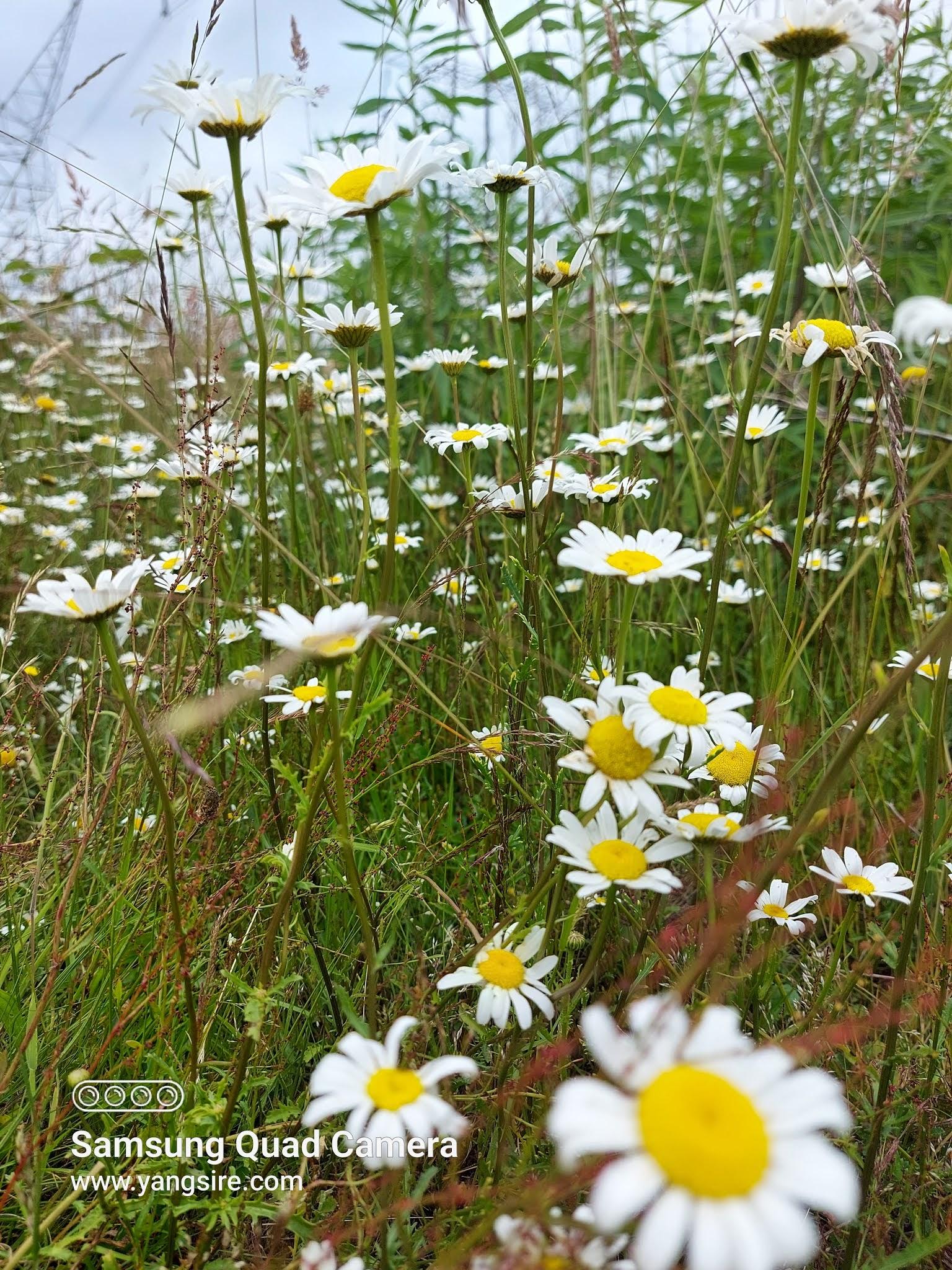 Field with full of Daisy
