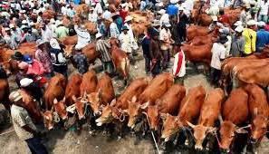 pemilihan bibit bakalan ternak
