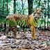 Kisah Bupati Aceh Selatan Dibantu Harimau Saat Tersesat di Hutan
