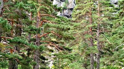 Robustos y enormes pinos silvestres