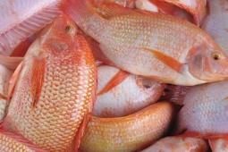 Teknik Budidaya Ikan Nila