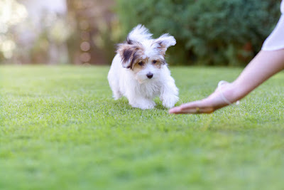 Havanese potty training problems & Solutions