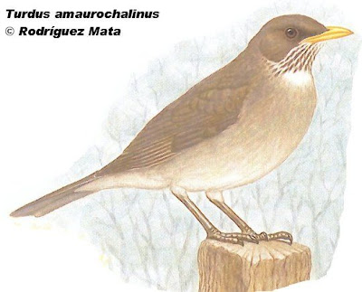 Creamy bellied Thrush