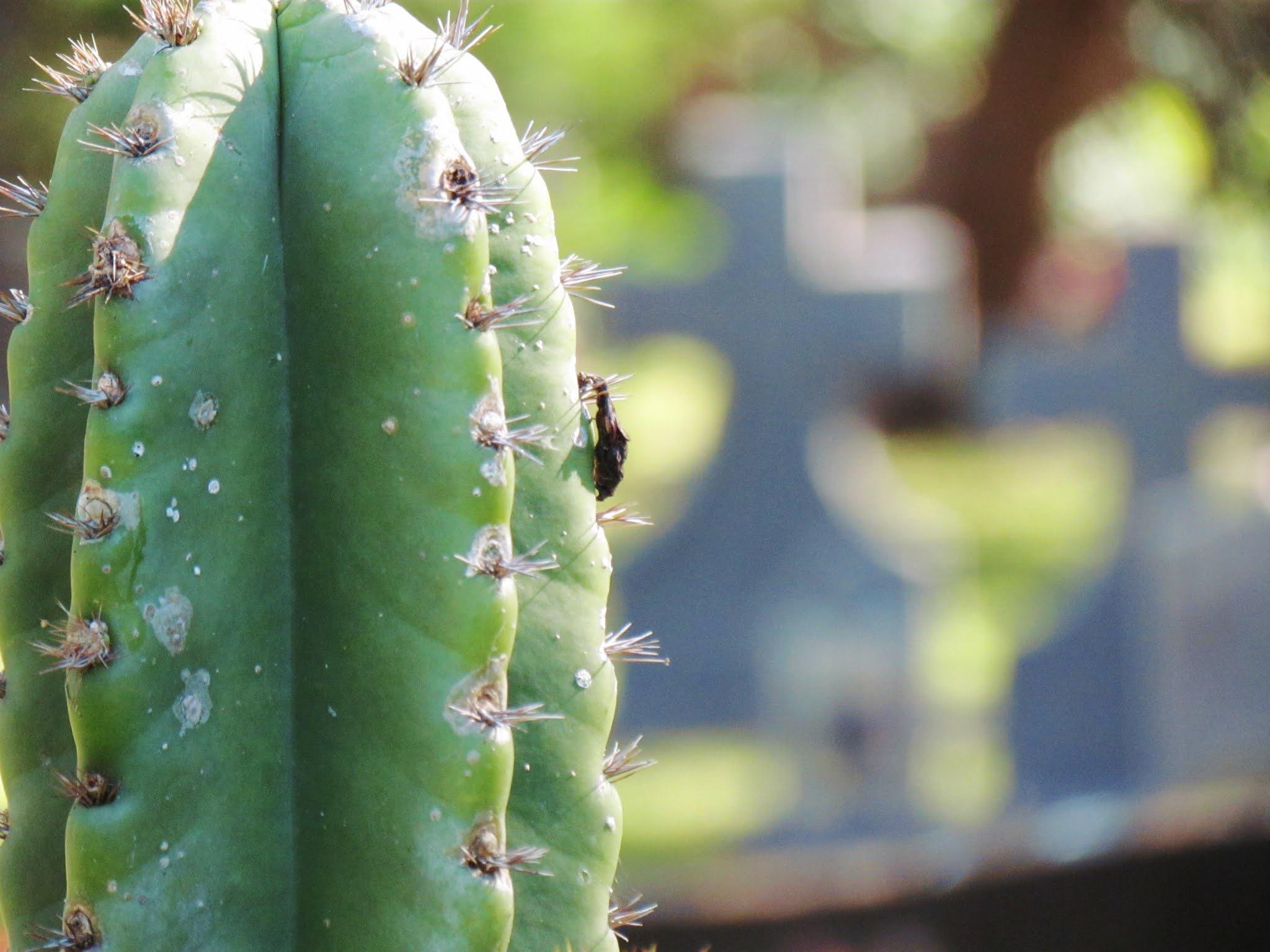 Saguaro cactus bloom + blurred photography photo challenge, cactus plant, desert cactus, desert blooms