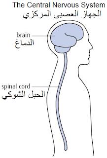 تعريف الجهاز العصبي المركزي