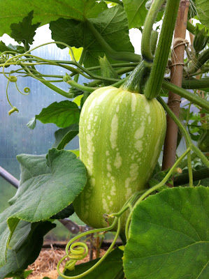 Butternut squash growing in a polytunnel