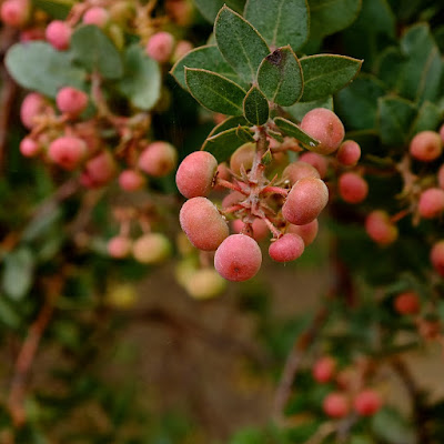 Manzanita Berries: photo by Cliff Hutson