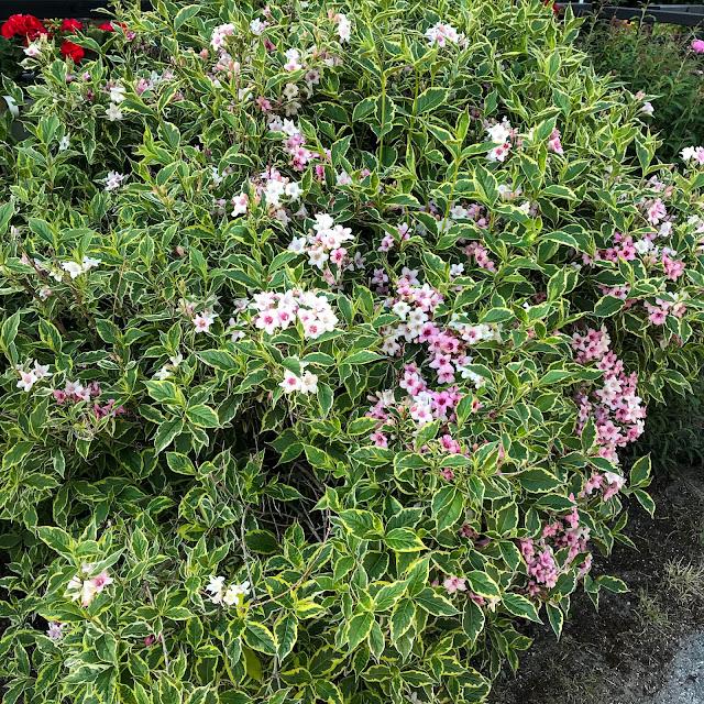 rosentry