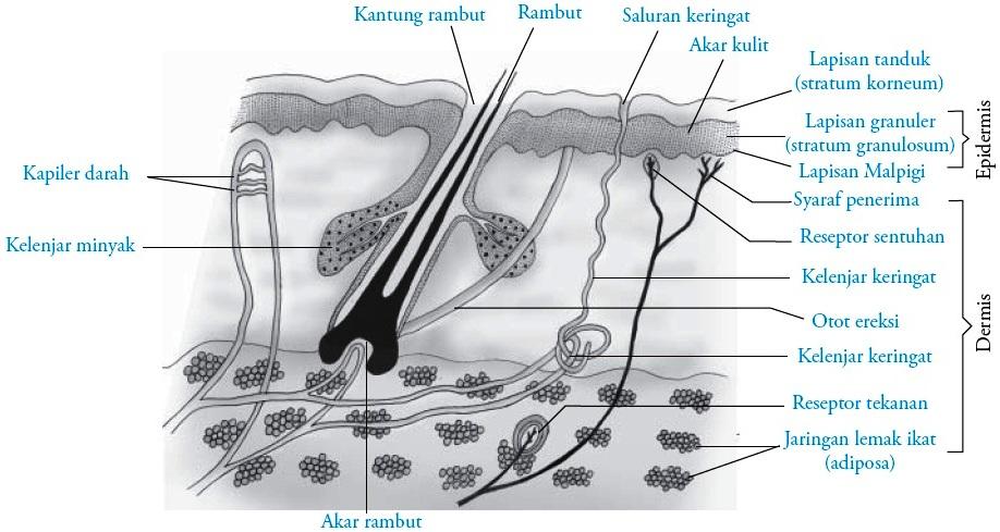 Struktur Kulit – Pengertian, Anatomi, Gambar dan Fungsinya