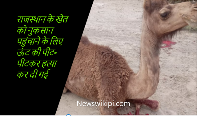 राजस्थान के खेत को नुकसान पहुंचाने के लिए  ऊंट की पीट-पीटकर हत्या कर दी गई