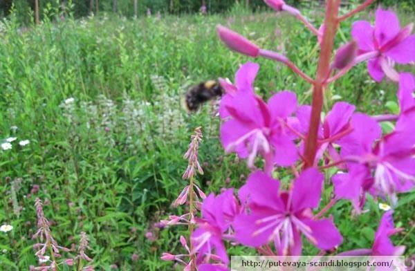 Finnish bumblebee