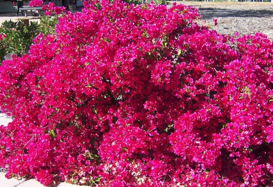 The 2 Minute Gardener Photo Bougainvillea San Diego Red