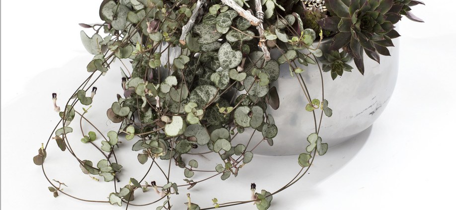Les plantes vertes du moment caract rielle for Chaine de coeur plante entretien