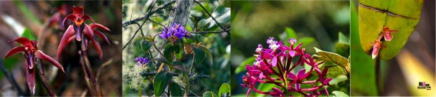 Più di 200 specie di orchidee censite  a Wayqecha