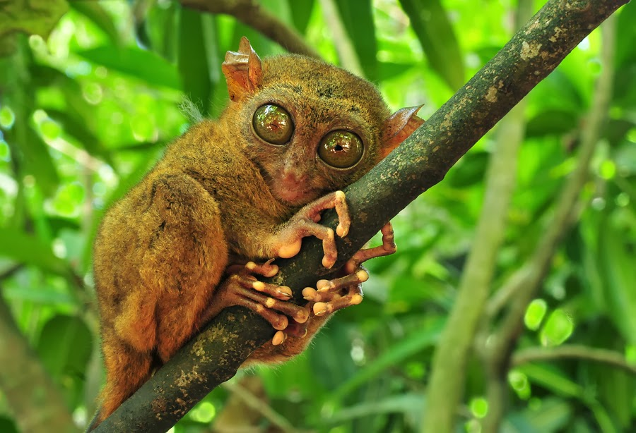 Tarsier Tree Monkey in Bohol