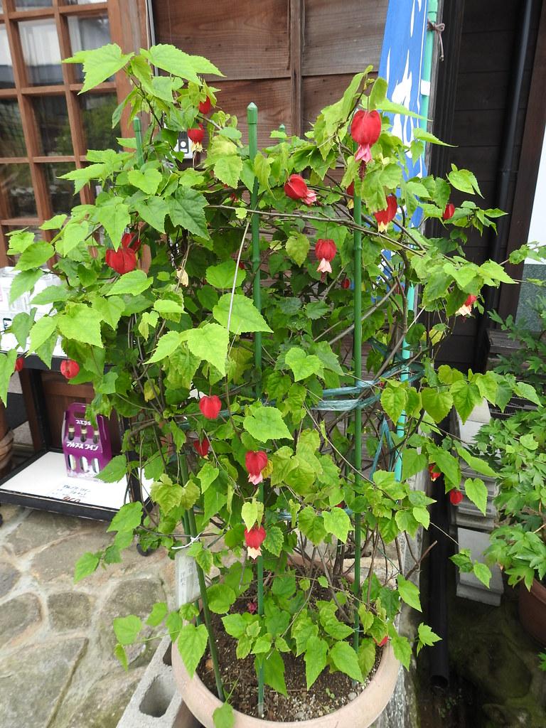 Abutilon Megapotamicum Grow And Care Travaldos Blog
