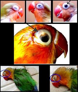 Mencegah dan Mengatasi Snot Pada Lovebird yang Bisa Menular