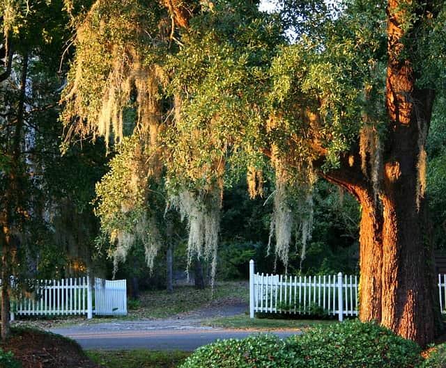 Spanish moss in South Carolina