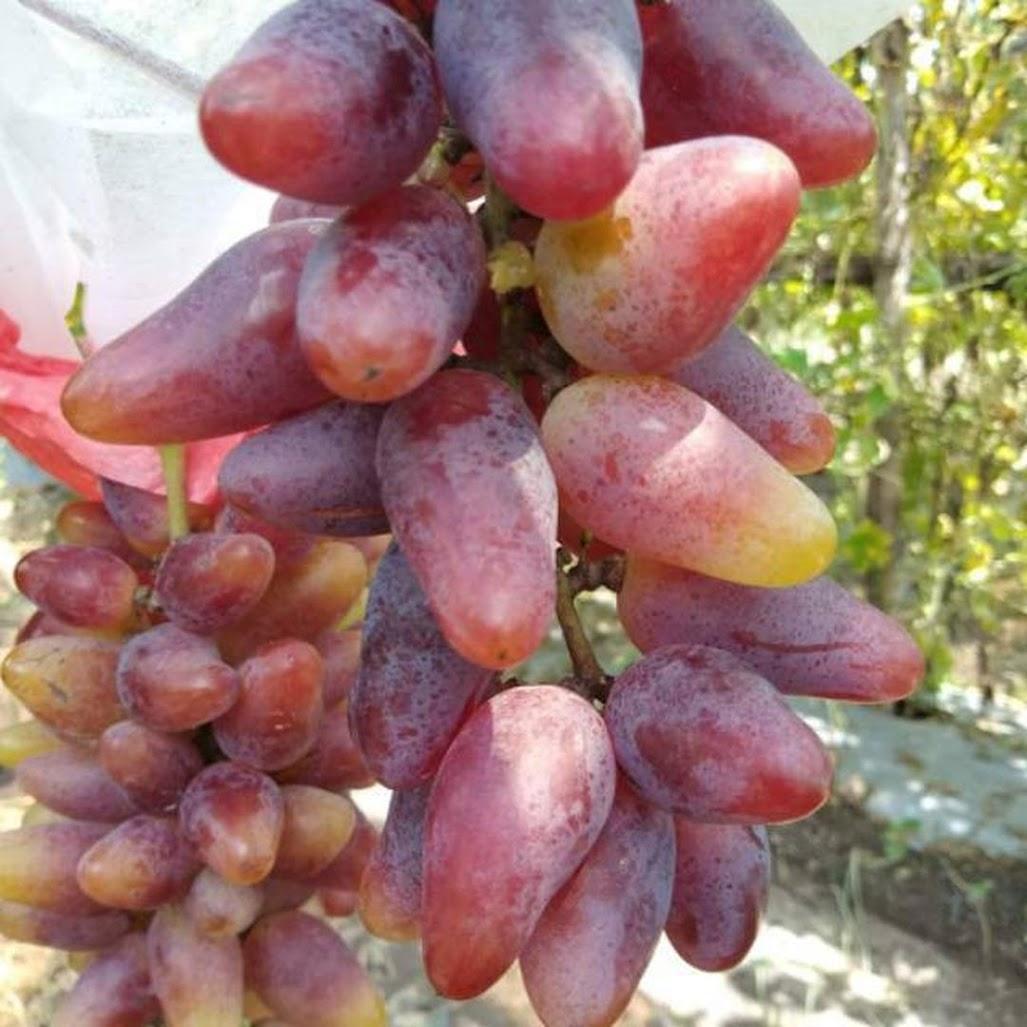 Bibit Anggur Import Jenis Oskar Cod Ambon