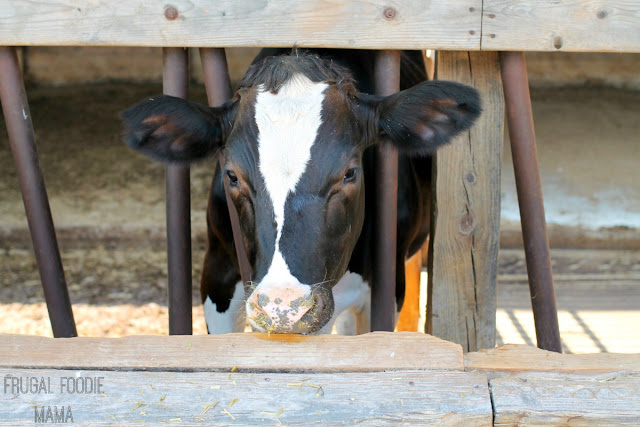 Stop by Mt. Crawford Creamery near Harrisonburg to watch the daily cow milking & talk to the dairy farmers. #BlueRidgeBucket #Trekarooing