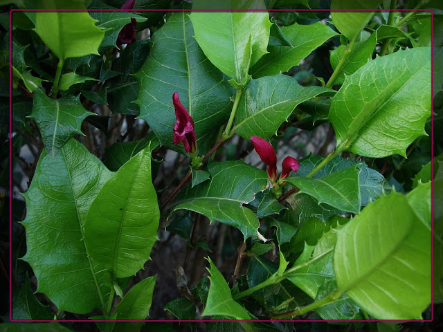 Graptophyllum%2Bilicifolium.jpg
