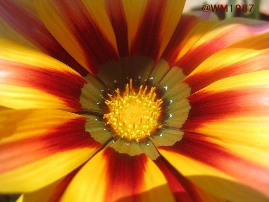 Yellow Red Bloom