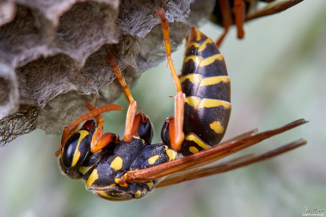 Wasp at Work