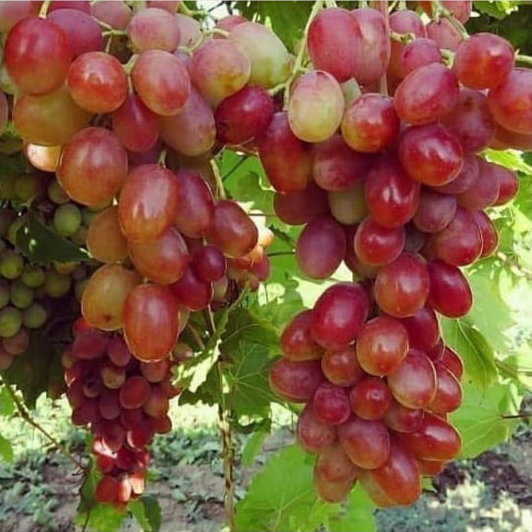 Buruan Beli! Bibit Tanaman Buah Anggur Import Jupiter Bibit Anggur Impor Bibit Anggur Bibit Anggur Grafting Kota Jakarta #bibit buah genjah
