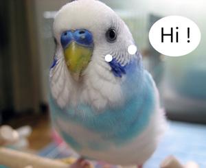 Listen To Parakeet Sounds