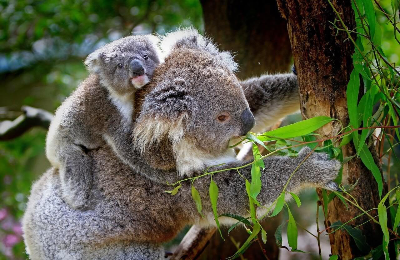 オーストラリアの動物園でのコアラの写真