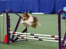 exercício de alto risco para cães