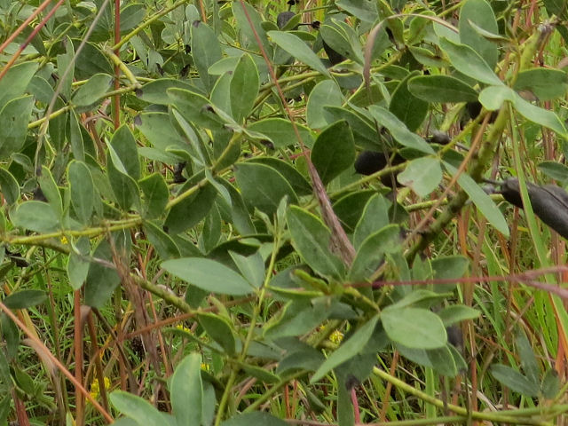 white false indigo leaves