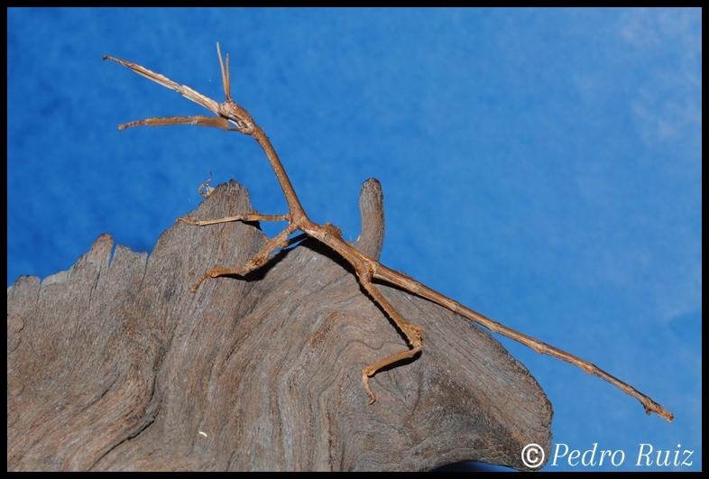 Ninfa macho L7 de Achrioptera manga, 12 cm de longitud
